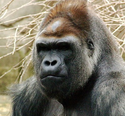 picture of Gorilla for SEO How-to and Google article