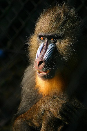 Picture of mandril illustrates Google doesn't cooperate with SEO Guarantees